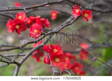 Red Chaenomeles japonica flowers on the brunch without leaves in the winter park in Australia