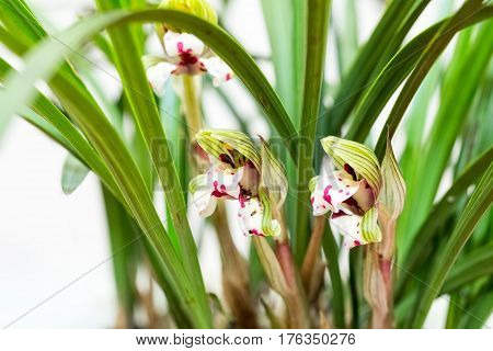 beautiful orchids bloom in the spring cymbidium goeringii closeup