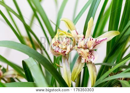 beautiful orchids bloom in the spring cymbidium ensifolium closeup