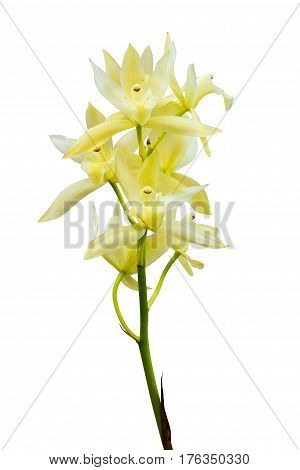 pale yellow orchid isolated on white with clipping path cymbidium ensifolium