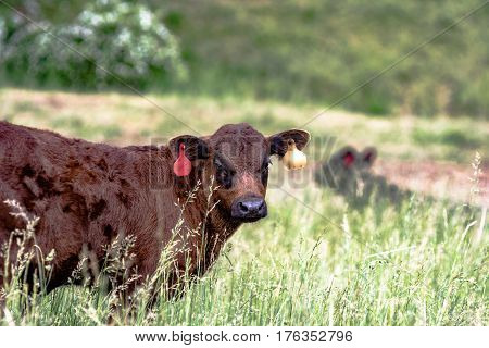 Angus crossbred calf standing in tall fescue pasture with another cow out of focus in the background