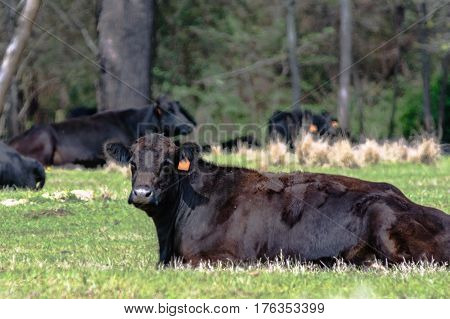 Black Angus cow lying down chewing its cud with other cows lying down in the background