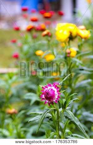 Helichrysum or Straw flower sweet with yellow background at countryside Thailand