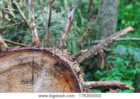 Tree trunk cross section in forest background