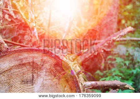 The tree trunk cross section in sunlight