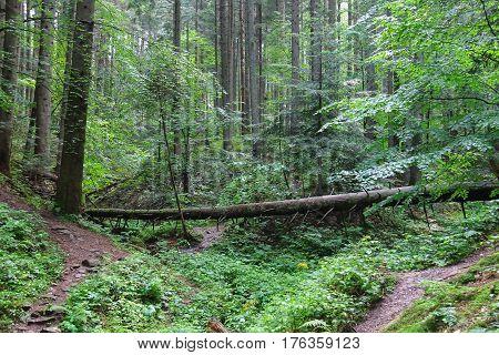 Fallen tree in summer forest In the Carpathian mountains. Ukraine