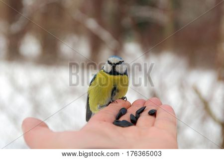 Blue tit sitting on a human palm with seeds