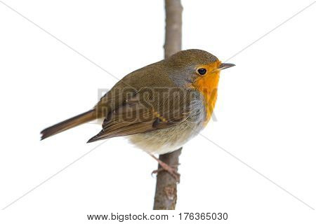 robin on a branch isolated on white