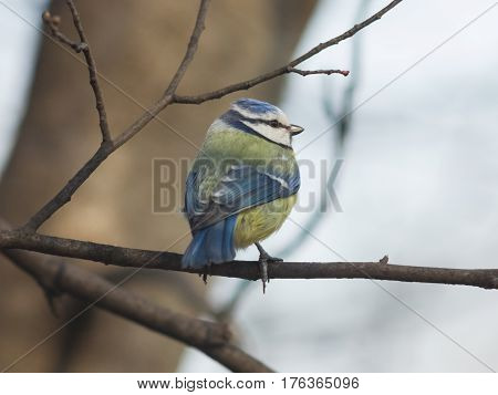 Eurasian blue tit Cyanistes caeruleus sitting in branches closeup portrait selective focus shallow DOF.