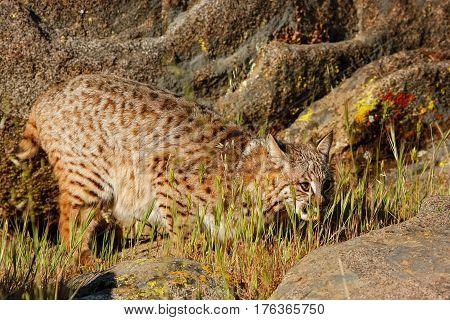 Bobcat (Lynx rufus) standing in a grass near rocks
