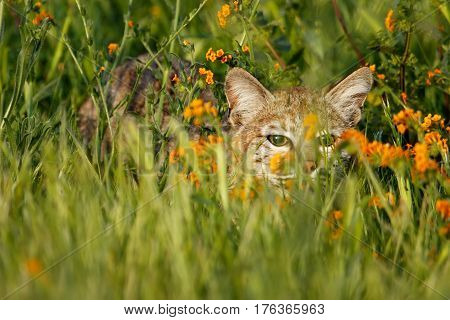 Bobcat Hiding In A Grass With Flowers