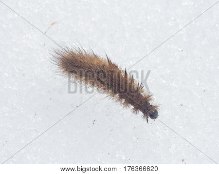 Small fuzzy brown caterpillar on old snow in late winter macro selective focus shallow DOF.