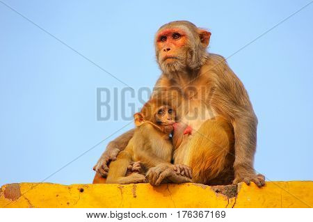 Rhesus Macaque With A Baby Sitting On A Wall In Taj Ganj Neighborhood Of Agra, Uttar Pradesh, India