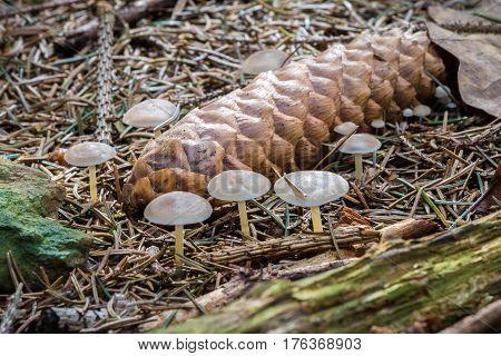Strobilurus Esculentus - Edible Mushroom