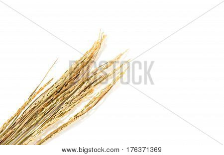 The Paddy Rice On White Background. Ears Of Paddy Rice, Copy Space