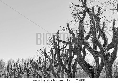 old branchy tree without foliage against the background of the sky monochrome tone