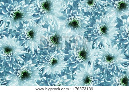 Flowers background. Flowers white-turquoise Chrysanthemums. Much chrysanthemums with a green center. floral collage. flowers composition. Nature. 3D illustration.