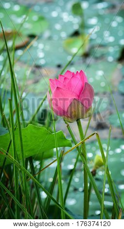 Close-up Of Lotus Flower