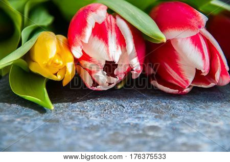Red Plural and Yellow Tulips on a balck textured background. Close up and Copy Space.