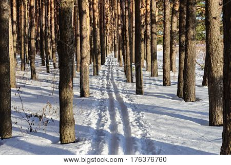 Ski track between pine trunks in sunny winter forest