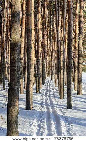 Ski track between pine trunks in winter forest