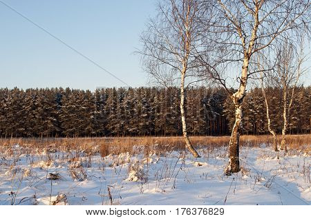 Some bare birch trees on the glade before a pine forest. Sunset winter time.
