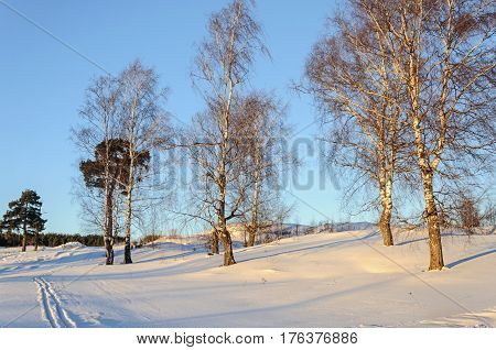 Bare birch trees on a ravine sunny winter evening