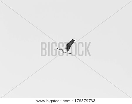 Sea Bird Flying With Wings Spread