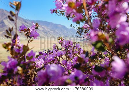 Mountain landscape with rhododendron flowers in the foreground