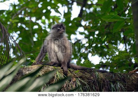 The dusky leaf monkey in the jungle