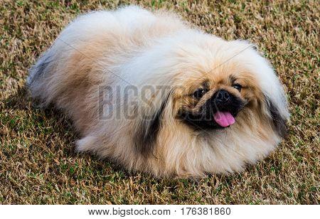 Pure bred Pekingese pet dog sitting on grass