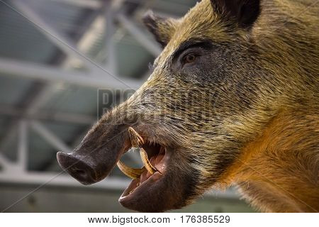Head of a wild boar with fangs