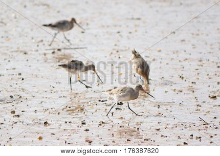 Group of Black-tailed Godwit feed in river Axe estuary during low tide
