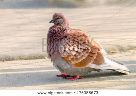 Image of an animal beautiful bird of pigeon sitting on the ground