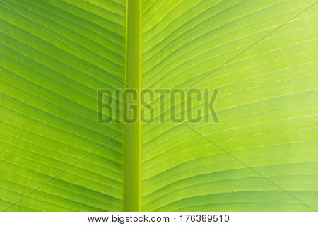 Closeup green banana leaf texture Abstract Banana leaf background. Pattern.