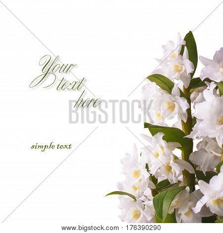 White Dendrobium Nobile_1