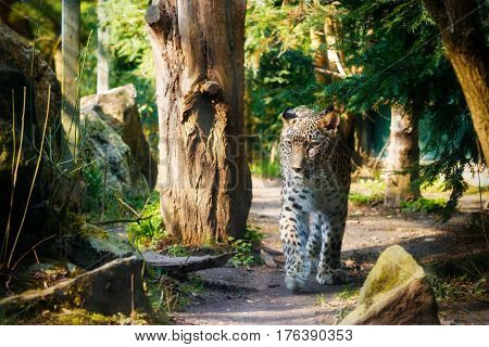 Persian leopard (Panthera pardus saxicolor) walking under trees.