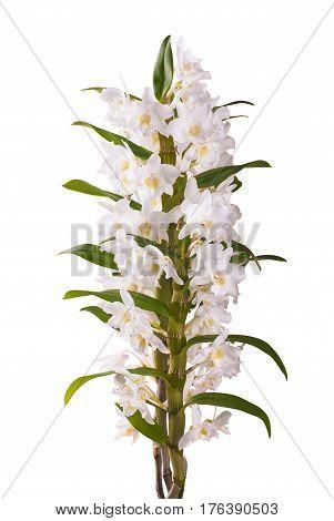 White Dendrobium Nobile_5