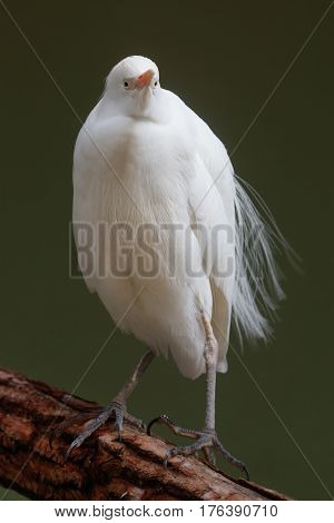 Close-up portrait of a white Cattle egret (Bubulcus ibis) standing on a branch.