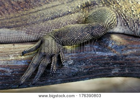 Close-up macro shot of the foot of a golden-colored lizard.