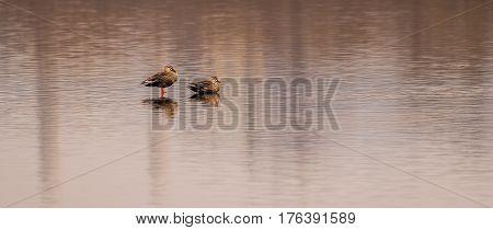Two Eastern spot-billed ducks in a lake in South Korea