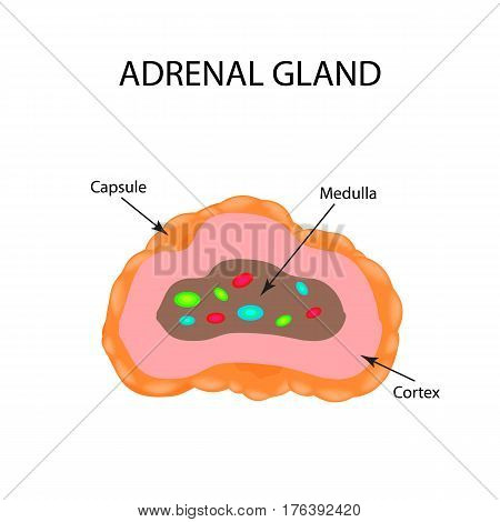 The anatomical structure of the adrenal gland. Vector illustration.