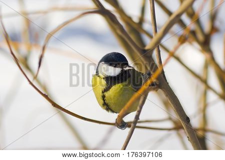 Little cute blue tit sitting on a branch under winter sunlight.