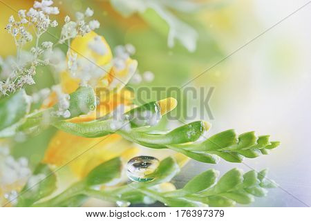 Beautiful abstract light and blurred soft background with flowers in yellow and green colors. Dew drops or rain water on the flower of yellow freesia. Macro image with mirror reflections. Close-up.