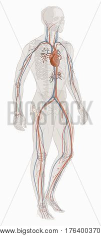 Human body parts. circulatory vascular system. man anatomy. Hand drown vector sketch illustration isolated