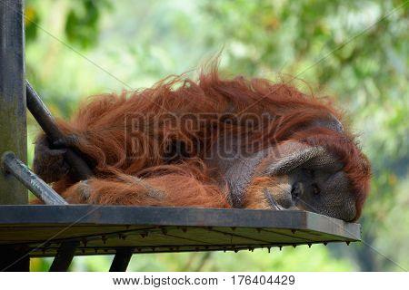 Orangutan lazily lying on a metal platform enclosure