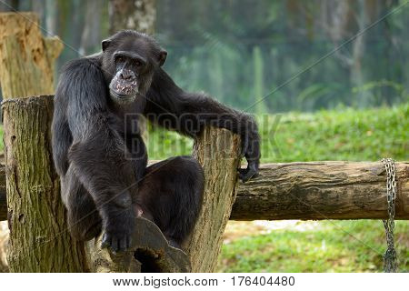 Chimpanzee sitting on a stump in the pose of meditation