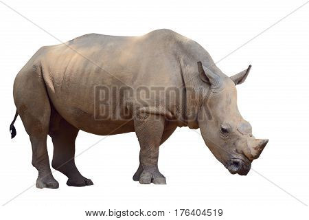 The brown rhino isolated on white background