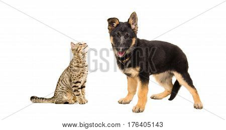 Portrait of a cat Scottish Straight and  German Shepherd puppy, isolated on white background