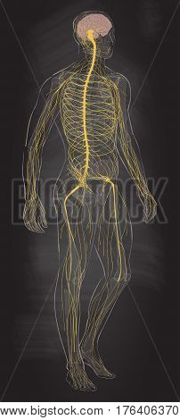 Human body parts. Nervous system. Man anatomy. Vector sketch illustration chalk drawing on the blackboard isolated